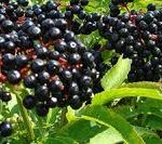 BURJAN jedna od najzdravijih biljaka